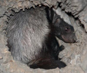 Honey Badger hiding in a hollow log at night