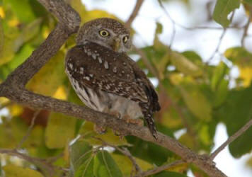 Pearlspotted Owlets are active in daytime